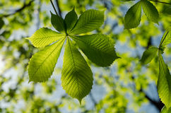 Leaves of the chestnut forest backdrop Royalty Free Stock Photos