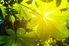 Leaves of a chestnut and the sun Royalty Free Stock Photography