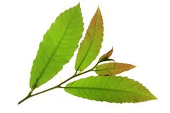 Leaves of the chestnut tree. Before white background Stock Photos