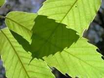 Leaves of a chestnut tree. Against the sunlight Stock Image