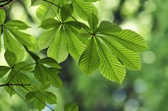 Leaves of chestnut tree Stock Images