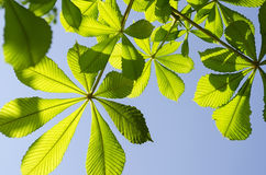 Leaves of chestnut Stock Photos