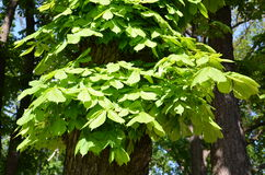Leaves ofchestnut tree. Green leaves of chestnut tree in a park Royalty Free Stock Images