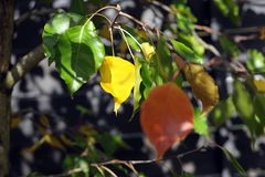 Leaves of a Chinese/Manchurian Elm. royalty free stock photos