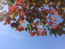 Leaves with clear skies Stock Photography