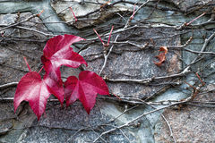 Leaves Clinging to Stone Wall. Autumn red leaves clinging to a stone wall Stock Images