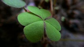 Creeping Woodsorrel royalty free stock image
