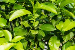Leaves close up of citrus limon plant Royalty Free Stock Image