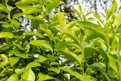 Leaves close up of citrus limon plant Stock Images