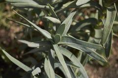 Crassula perfoliata close up. Leaves close up of Crassula perfoliata succulent plant stock photo