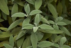 Leaves close up of Salvia officinalis stock photos