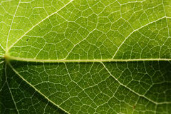 Leaves closeup. This is a closeup shot of green leaves, with nice texture, with sunlight behind Stock Photo
