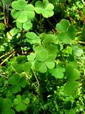 Leaves of clover Royalty Free Stock Images