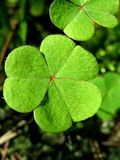 Leaves of clover royalty free stock image