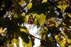 Leaves and clusters in the rays of the autumn sun royalty free stock photo