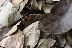 Leaves of coca Royalty Free Stock Photos
