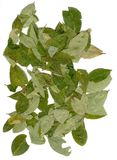 Leaves Coca. Dried Leaves Coca tree. Raw material for production of cocaine royalty free stock photo