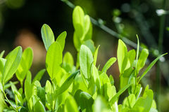 Leaves of coca plant. Growing high in mountains stock photo