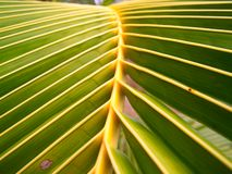 Leaves coconut stock photos