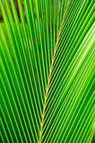Leaves coconut Royalty Free Stock Image