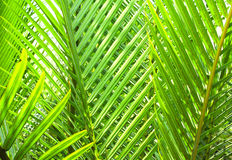 Leaves of coconut palm Royalty Free Stock Photos