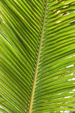 Leaves coconut - Palm Tree Leaves Stock Image