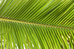 Leaves coconut - Palm Tree Leaves Stock Photos