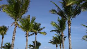 Leaves of coconut palms fluttering in the wind against blue sky. Bottom view. Bright sunny day. Riviera Maya Mexico.  stock footage