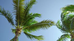 Leaves of coconut palms fluttering in the wind against blue sky. Bottom view. Bright sunny day. Riviera Maya Mexico.  stock video footage
