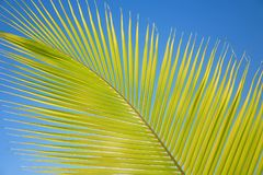 Leaves of coconut palms fluttering in the wind against blue sky. Bottom view. Bright sunny day. Riviera Maya Mexico.  Stock Photo