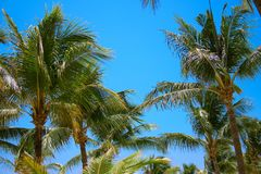 Leaves of coconut palms fluttering in the wind against blue sky. Bottom view. Bright sunny day. Riviera Maya Mexico.  Stock Images