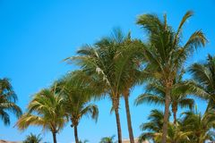 Leaves of coconut palms fluttering in the wind against blue sky. Bottom view. Bright sunny day. Riviera Maya Mexico.  Royalty Free Stock Photos