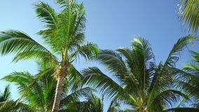 Leaves of coconut palms fluttering in the wind against blue sky. Bottom view. Bright sunny day. Riviera Maya Mexico.  stock video
