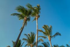 Leaves of coconut palms fluttering in the wind against blue sky. Bottom view. Bright sunny day. Riviera Maya Mexico.  Royalty Free Stock Images