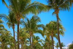 Leaves of coconut palms fluttering in the wind against blue sky. Bottom view. Bright sunny day. Riviera Maya Mexico.  Stock Photography