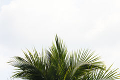 Leaves of coconut  in sky. Background Stock Image