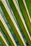 Leaves of coconut Royalty Free Stock Photo