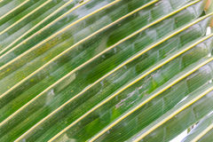 Leaves of coconut Stock Photo