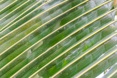 Leaves of coconut Stock Image