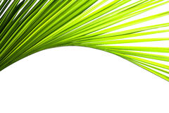 Leaves of coconut tree Royalty Free Stock Photography