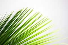 Leaves of coconut tree Royalty Free Stock Photos
