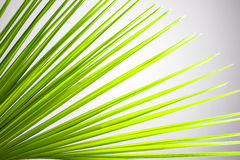 Leaves of coconut tree Royalty Free Stock Photo