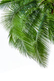 Leaves of coconut tree isolated on white background Stock Photos