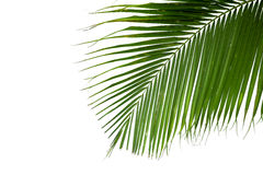Leaves of coconut tree isolated on white background Stock Photography