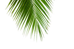 Leaves of coconut tree isolated on white background Royalty Free Stock Images
