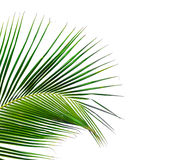 Leaves of coconut tree isolated on white background Stock Image