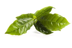 Leaves coffee tree Stock Photography