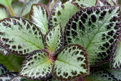 Leaves of coleus Royalty Free Stock Images