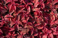 The leaves of coleus Royalty Free Stock Photo