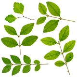 Leaves collection isolated on white background Royalty Free Stock Image